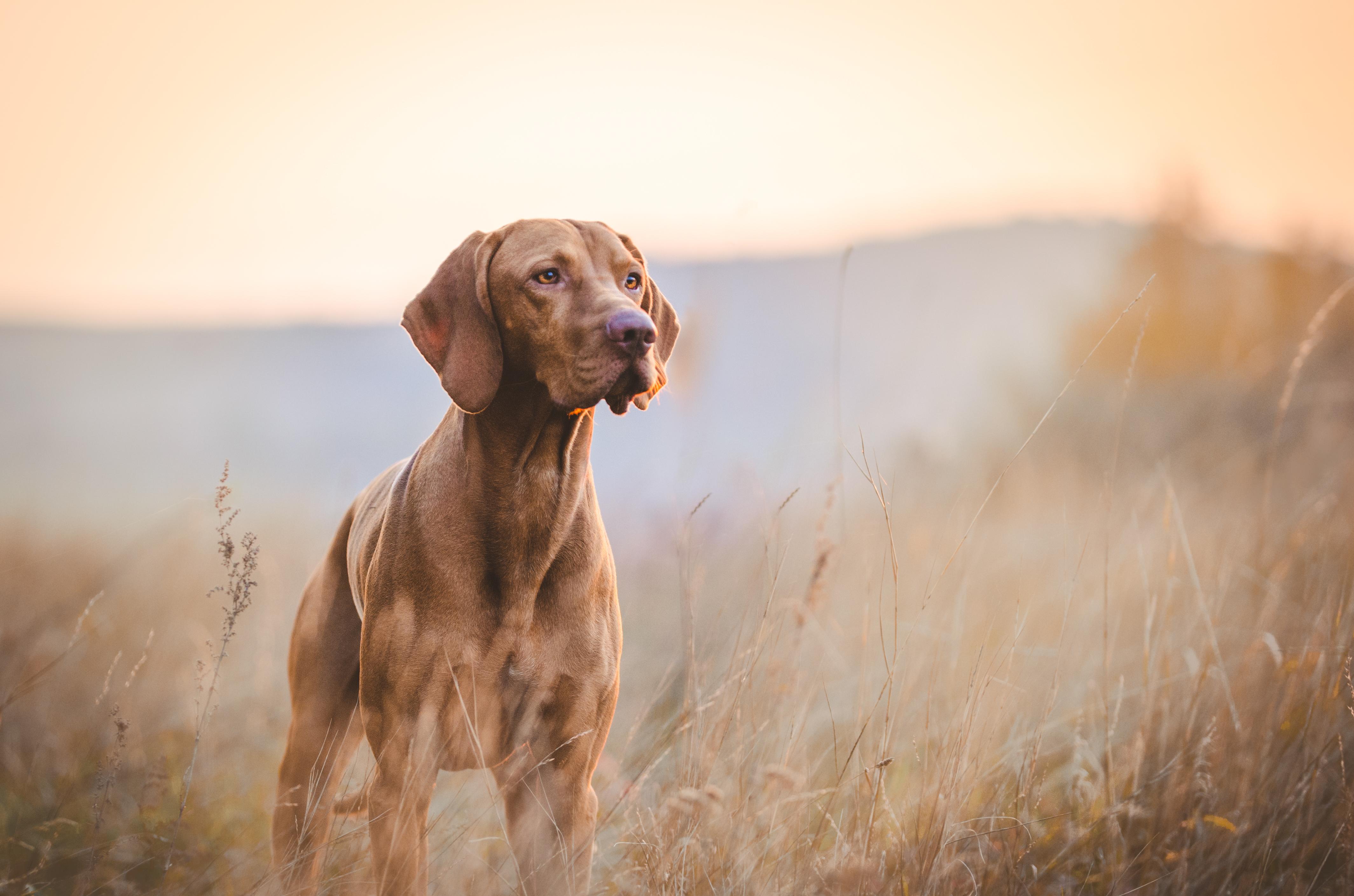 Hund blickar ut över fält