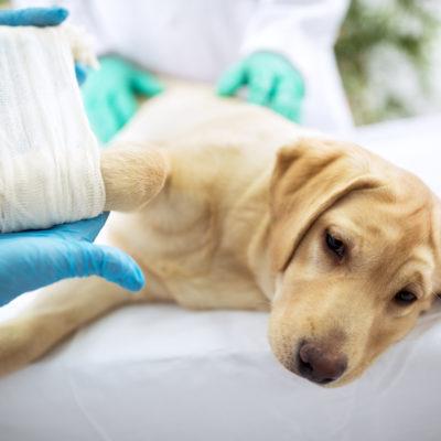 Hund får bandage runt framben